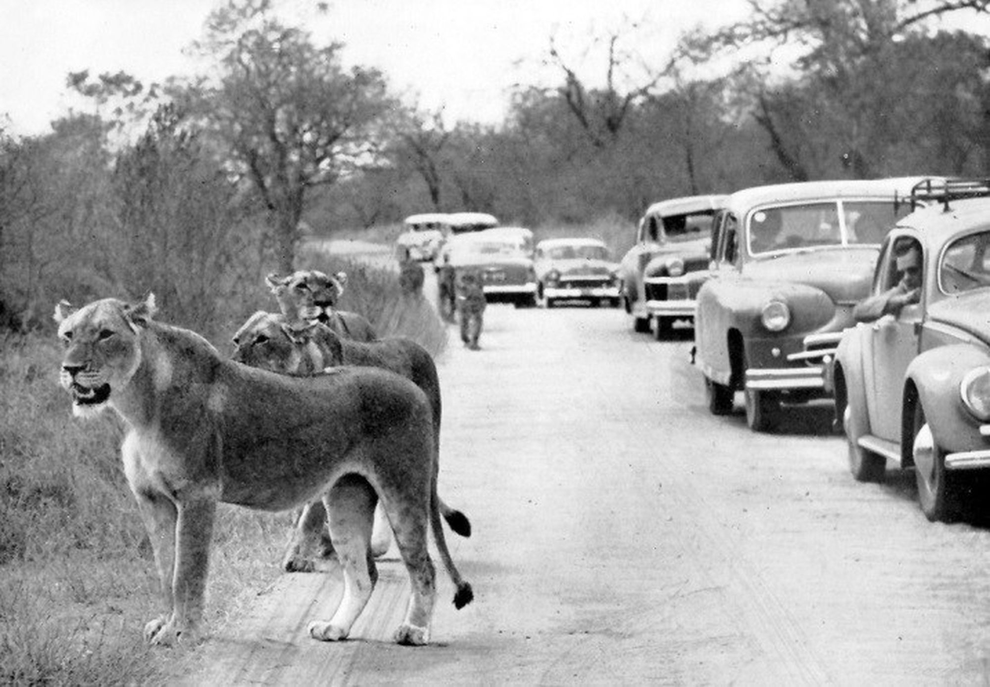 Lions in the kruger park in the 1950s